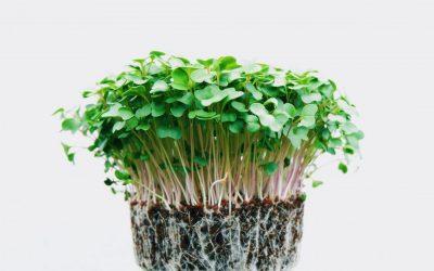 How to grow micro greens