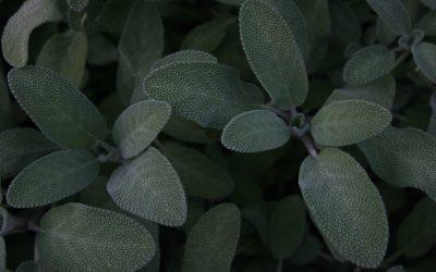Sage Plant Mildew Update